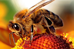 Bee Die-off Worsening - GMO Seeds/Pesticides Sneaked Into Consumer Markets - UNLABELLED | YOUR FOOD, YOUR ENVIRONMENT, YOUR HEALTH: #Biotech #GMOs #Pesticides #Chemicals #FactoryFarms #CAFOs #BigFood | Scoop.it