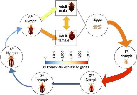 Punaises de lit : le génome décrypté par des Américains | EntomoNews | Scoop.it