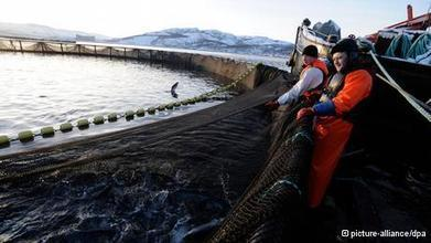 Decision due on controversial #Irish #fishfarm ~ #Environment ~ DW.DE  26.03.2013 | Rescue our Ocean's & it's species from Man's Pollution! | Scoop.it