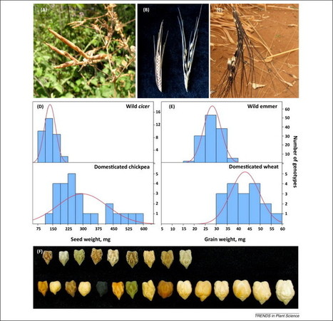 Plant domestication versus crop evolution: a conceptual framework for cereals and grain legumes | Plant Science in the 21st Century | Scoop.it