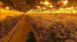 Cannabis « made in Germany » mafia « apatride », drogue | Cannabisclub | Scoop.it