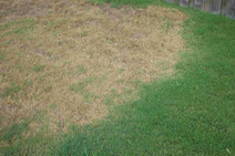 Chinch Bugs vs. St. Augustine Grass - Amazing Blades | Amazing Blades Landscaping | Scoop.it