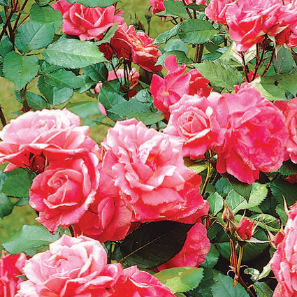 Spring Hill's Pink Freedom Hedge Rose | My Garden- Spring Hill Nursery | Scoop.it