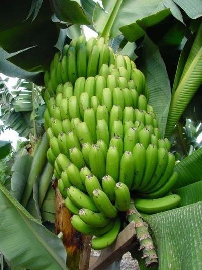 Salud: Recetas de plátano | La Salud | Scoop.it