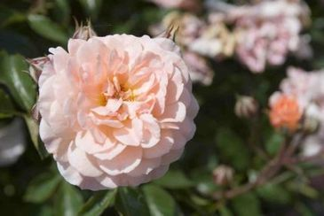 New Garden Roses - The Drift Series - Fine Gardening | Rose gardening for everyone | Scoop.it