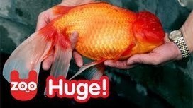 Bruce - World's Biggest Goldfish?   Abgefahrene Tiere   Scoop.it