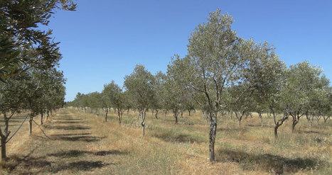 Transformer les déchets d'huile d'olive en énergie pour profiter aux économies rurales - notre-planete.info | Actu, moto & politique | Scoop.it