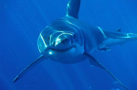9-Foot Great White Shark Eaten by Something. Whole. | No Such Thing As The News | Scoop.it