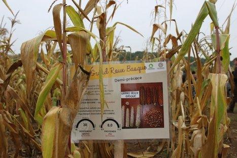 Pour se libérer des semenciers, des agriculteurs redécouvrent le maïs population | Agriculture biologique | Scoop.it