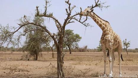 Niger: Vorbild beim Giraffenschutz | Afrika | Scoop.it