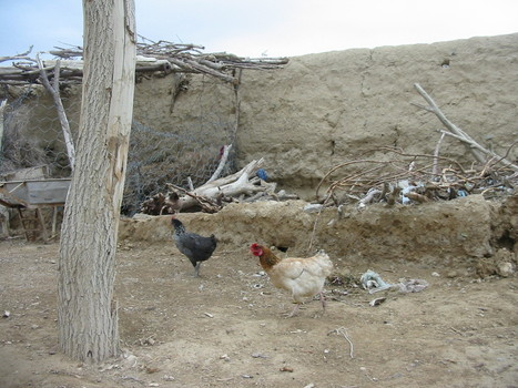 STATE OF RURAL POULTRY AND SUSTAINABLE PRODUCTION IN PAKISTAN | Sustainable Livestock Agenda SLA | Scoop.it