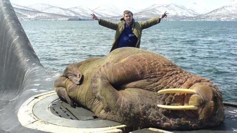 What Happens When A Walrus Falls Asleep On A Surfacing Submarine?   Random   Scoop.it