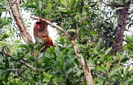 Photo 175   Bekantan - Wild Indonesia   Scoop.it