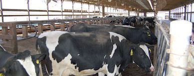 Dairy Cows Didn't Lay Down in Indiana Last Year | California Farmer (San Ramon, CA) | CALS in the News | Scoop.it