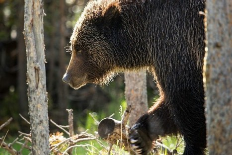 States propose scaling back safeguards for grizzlies | Advocating for Wildlife | Scoop.it