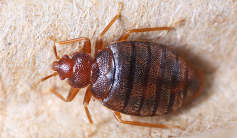 Arkansas leads nation for highest increase of bed bug cases | Business And Marketing | Scoop.it