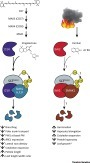 Smoke and Hormone Mirrors: Action and Evolution of Karrikin and Strigolactone Signaling: Trends in Genetics | Emerging Research in Plant Cell Biology | Scoop.it