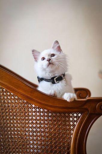Le Bristol a un nouveau chat   CaniCatNews-actualité   Scoop.it