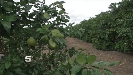 Citrus canker found again in Texas (US) | Pest Alerts | Scoop.it