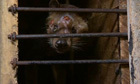 """World's most expensive coffee tainted by 'horrific' civet abuse 