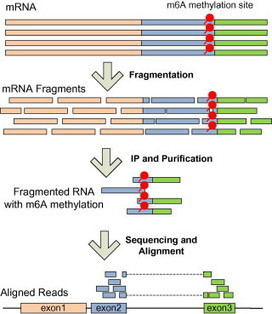 A protocol for RNA methylation differential analysis with MeRIP-Seq data | #NGS Applications | Scoop.it