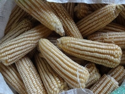Kenya: Ministry increases price of maize by Shs.100   MAIZE   Scoop.it