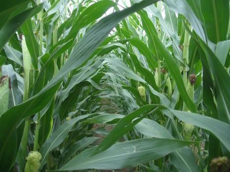 Une nouvelle étude du professeur Séralini démontre la toxicité d'un OGM sur des vaches | Toxique, soyons vigilant ! | Scoop.it