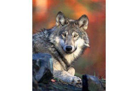 Michigan DNR appeals ruling that put grey wolves back on federal endangered species list | GarryRogers Biosphere News | Scoop.it