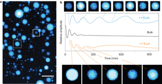 Diversity in the dynamical behaviour of a compartmentalized programmable biochemical oscillator : Nature Chemistry : Nature Publishing Group   Synthetic Biology World News   Scoop.it