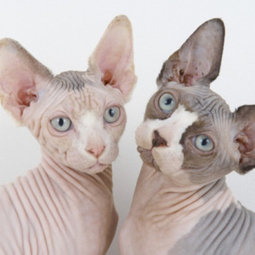 Sphynx Cat | Cat Breeds Information | Scoop.it