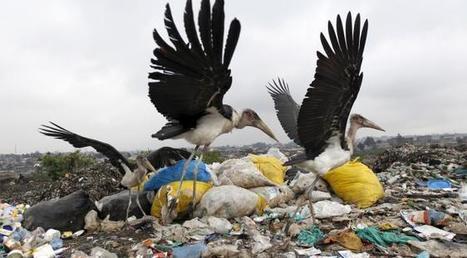 Les cigognes ne migrent plus vers l'Afrique, car elles ont développé une nouvelle addiction...   Ainsi va le monde actuel   Scoop.it