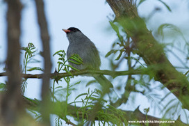 The '800 Challenge' - Southern Africa: A Big City Triple Crown - a winning trifecta...! | 800 Challenge - Birding Southern Africa | Scoop.it