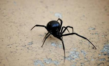 How to Get Rid of Brown Recluse Spiders in Home by George | Pest Inspection and Treatment in NC | Scoop.it