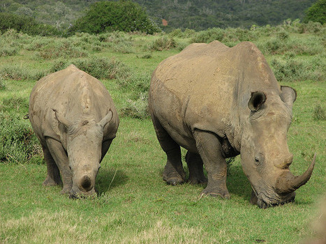 Extinction: Africa without rhinos would be different and poorer | Impact on Wildlife | Scoop.it