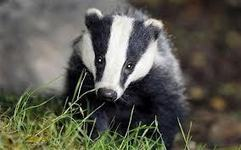 Badger cull - it will not happen - Mail Online - Michael Hanlon's Science blog: From The Cutting Edge | Wildlife Trust of South and West Wales | Scoop.it