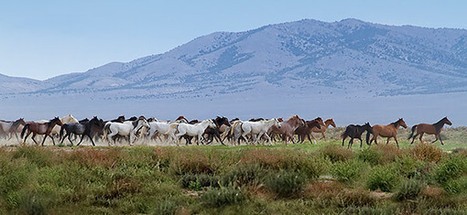 Running with Nevada's wild horses. | Animals and Other Stories | Scoop.it