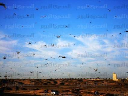 Authorities detect fresh cross-border wave of locusts | Égypte-actualités | Scoop.it