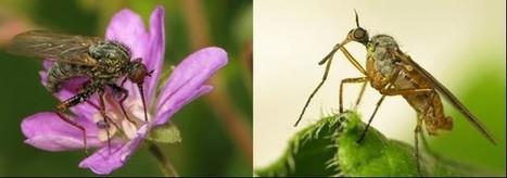 Pollinisation : quand les diptères prennent le relais des abeilles | Lorraine | Scoop.it