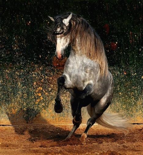 Majestic Beauty - Arabian and Andalusian Horses | Arabian Horses | Scoop.it