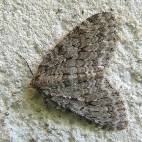 Photo de Papillon : Épirrite automnale - Epirrita autumnata - Autumnal moth | Fauna Free Pics - Public Domain - Photos gratuites d'animaux | Scoop.it