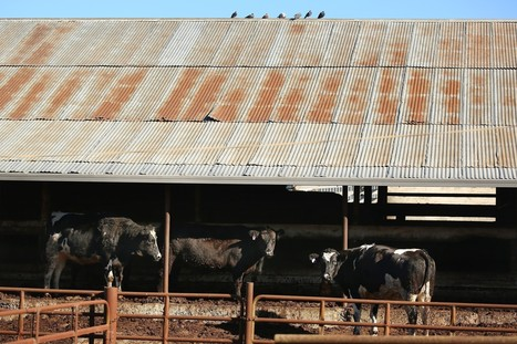 Rancho Feeding Corp. processed beef with cancer, documents show   Food issues   Scoop.it
