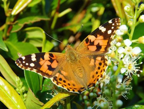 Noticias de ecologia y medio ambiente | Increible!. Una mariposa viaja 6.500 km. al año | Agua | Scoop.it