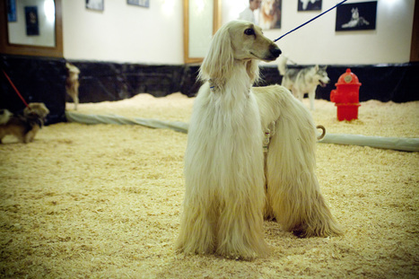 Woof Out The Red Carpet: Westminster Dogs Take New York - NPR | Steve Monahan | Scoop.it