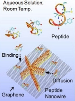 Genetically engineered peptides on 2D nanosheets form bio-nano interfaces | KurzweilAI | Longevity science | Scoop.it
