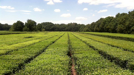 Yes, America Has A Working Tea Plantation. We Visited It | Erba Volant - Applied Plant Science | Scoop.it