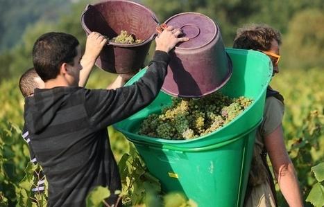 Nantes: Vers des vendanges tardives et peu abondantes | Le vin quotidien | Scoop.it