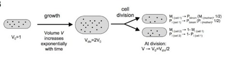 Modeling the effect of cell division on genetic oscillators | SynBioFromLeukipposInstitute | Scoop.it
