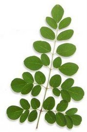 Scientifically Backed Health Benefits of Moringa - iHomeRemedy | Moringa - Health and Nutrition | Scoop.it