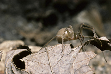 Engineered spider protein used for anti-venom vaccine against 'brown recluse' | Amazing Science | Scoop.it