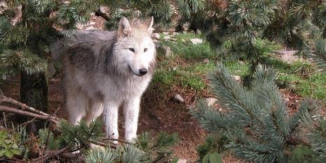 Isère : autorisation d'abattre un loup dans le massif du Vercors | Loup | Scoop.it